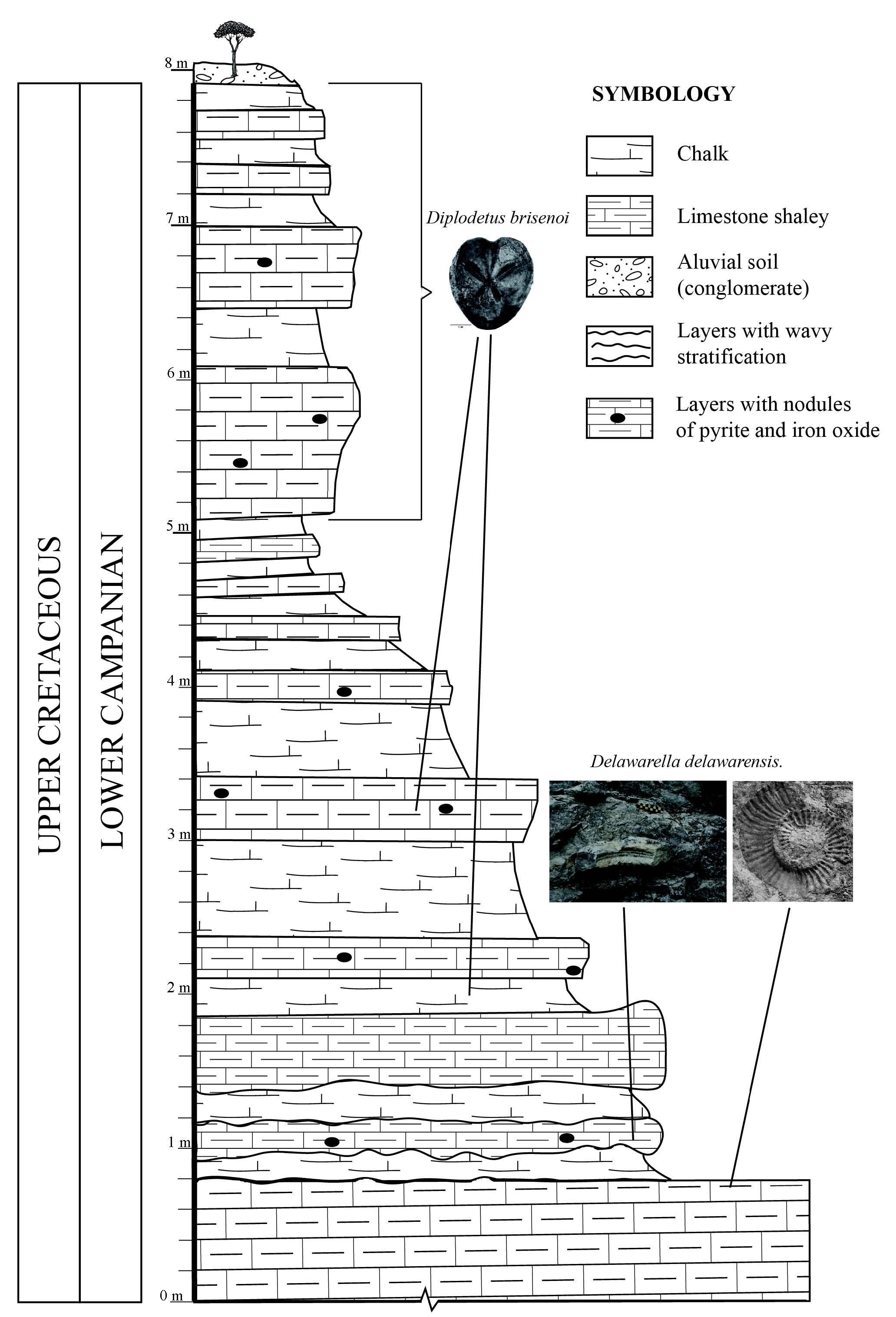 Boletn de la sociedad geolgica mexicana figure 2 stratigraphic profile and distribution of diplodetus brisenoi nov sp at arroyo el freno jimnez coahuila pooptronica